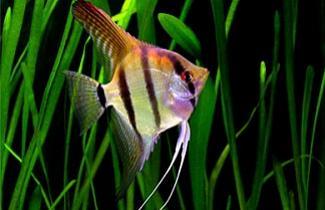 Reprodu��o - Ac�ra-bandeira amaz�nico
