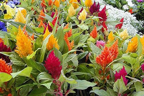 plantas jardim de sol:Conheça cinco flores que resistem ao tempo seco – Londrina – Casa e