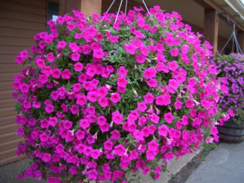 Flor do ver o renda se beleza e encanto das coloridas for Surfinia inverno