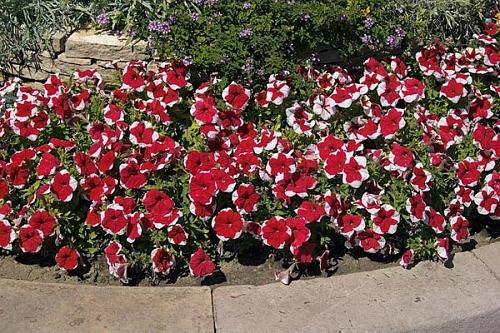 Flor do ver o renda se beleza e encanto das coloridas for Petunie inverno
