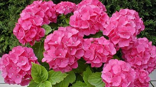 Aprenda como plantar e ter diferentes cores de hort nsias - Como cuidar una hortensia de exterior ...