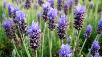 Seis plantas para cultivar em casa que servem como repelente natural