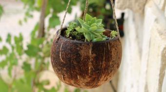 Vaso de coco � alternativa sustent�vel e bonita para suas plantas