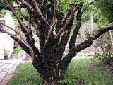Veja a maneira correta de cultivar uma jabuticabeira no jardim ou vaso
