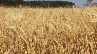 Pre�o do trigo cai e deve afetar custo ao consumidor