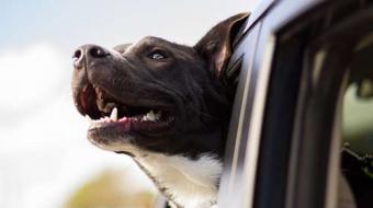 Transportar animais no carro requer atenção e cuidado, alerta Detran Paraná