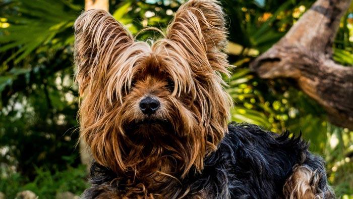 Cão peludinha