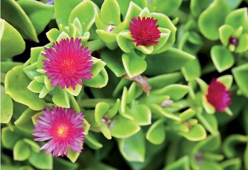 nome indica as flores da rosinha de sol só abrem com a presença de